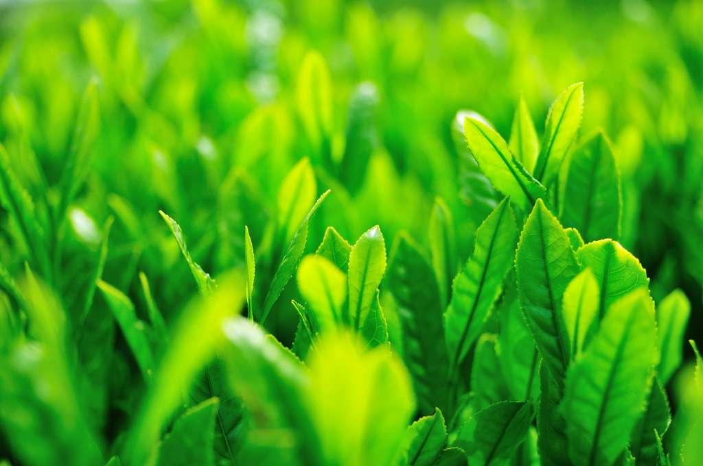 Comme le théier, entre 10.000 et 15.000 plantes à fleurs contiendraient dans leur génome un bout d'ADN d'agrobactérie. © ajari, Flickr