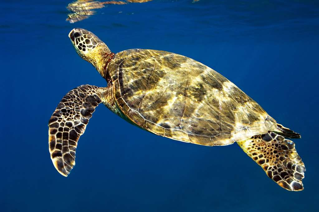 La tortue de mer ou tortue marine