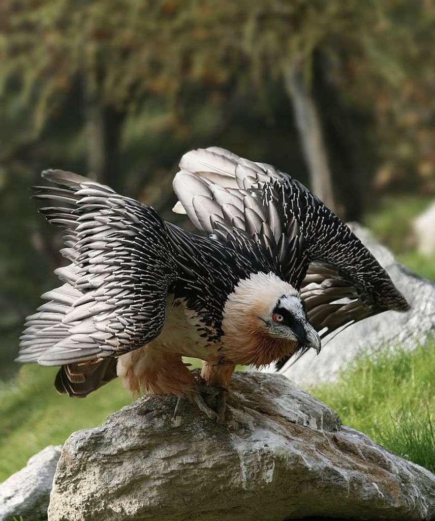 Les aventuriers peuvent partir à la recherche du gypaète barbu, le plus grand vautour d'Europe réintroduit dans les Alpes. © Richard Bartz, CC by-nc 2.5
