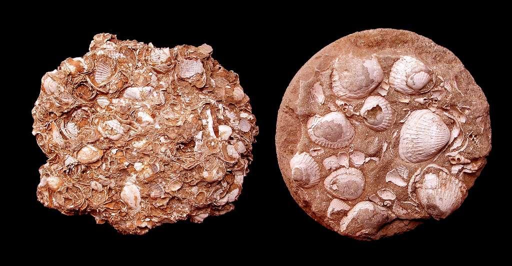Fossile Cardiidae © PalaeoMal - CC BY-SA 3.0 et GFDL