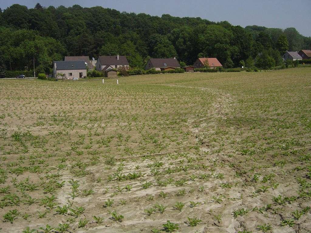 Des traces de ruissellement au sein d'un champ de betteraves derrière des habitations, près d'Ottignies (Belgique). © O. Evrard