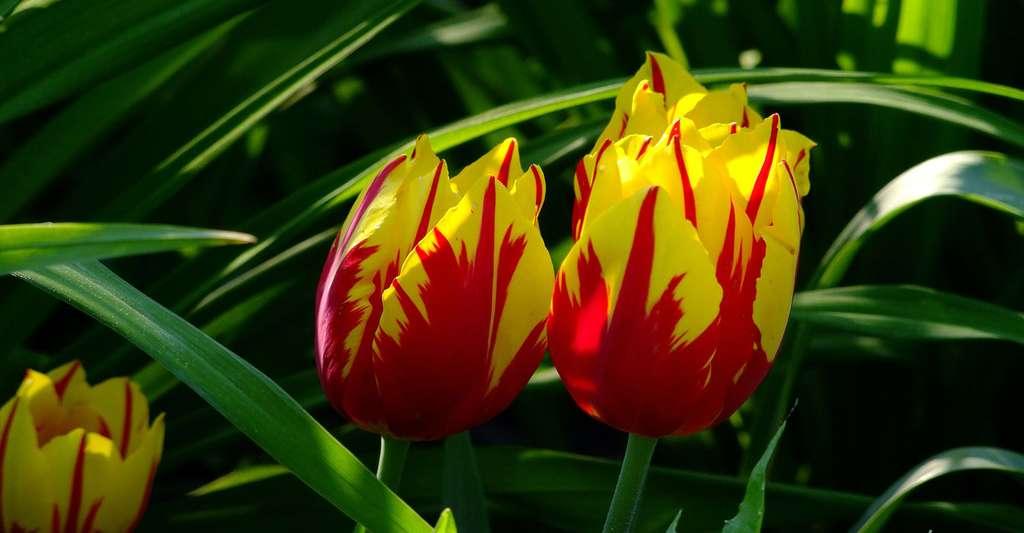 Tulipes perroquet. © ADD, Pixabay, DP