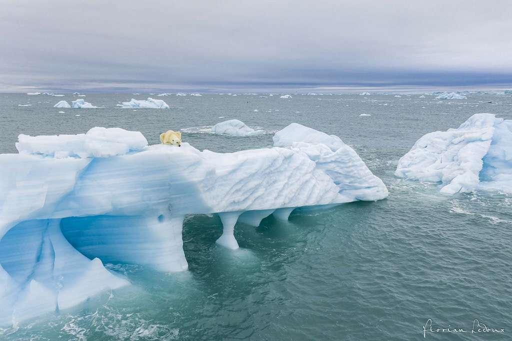 Ours polaire à l'affût sur un iceberg cherchant un phoque dans l'eau. © Florian Ledoux, tous droits réservés