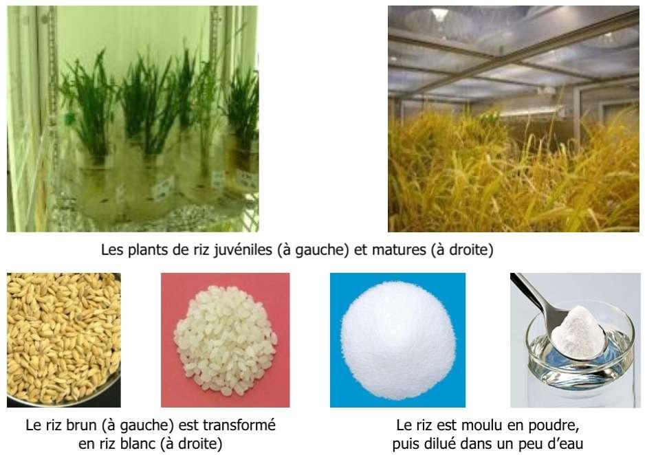 Le vaccin MucoRice-CTB est fabriqué dans du riz génétiquement modifié et se stocke à température ambiante. © Hiroshi Kiyono