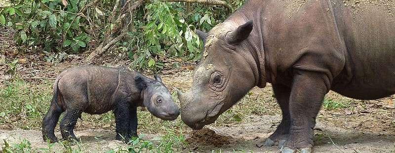 Deux rhinocéros de Sumatra : une mère et son petit dans la réserve de Lampung, à Sumatra. © International Rhino Foundation