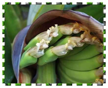 Banane femelle