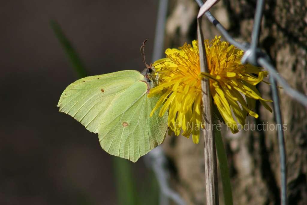 Messager du printemps, le papillon citron bénéficie d'une espérance de vie supérieure à un an. © N. Macaire, DR
