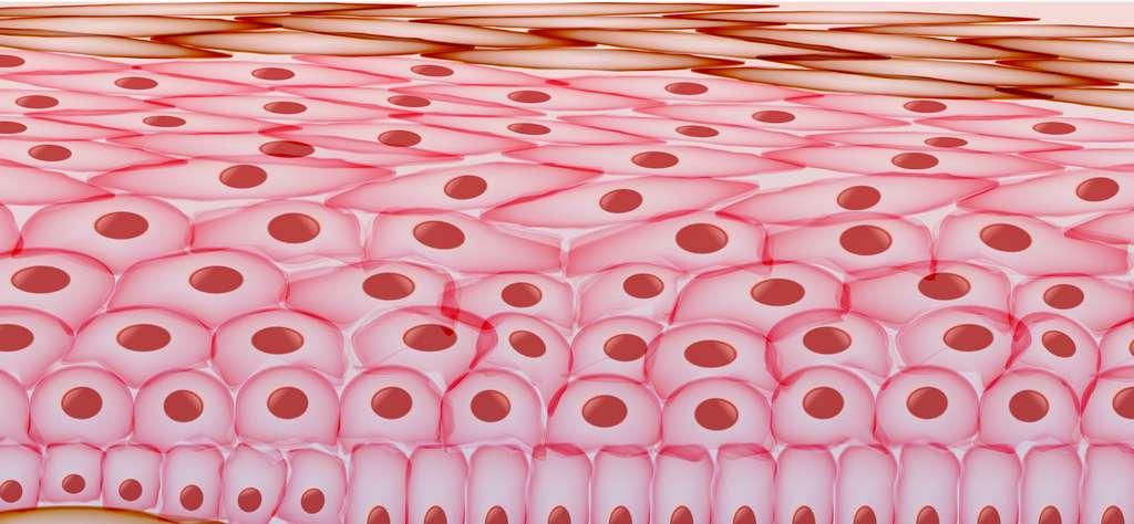 Les cellules de peau se renouvellent au rythme de 21 à 28 jours en moyenne. © inbevel, Adobe Stock
