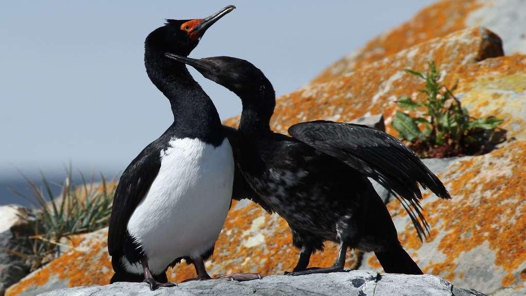 Le cormoran de Magellan, un oiseau de Patagonie
