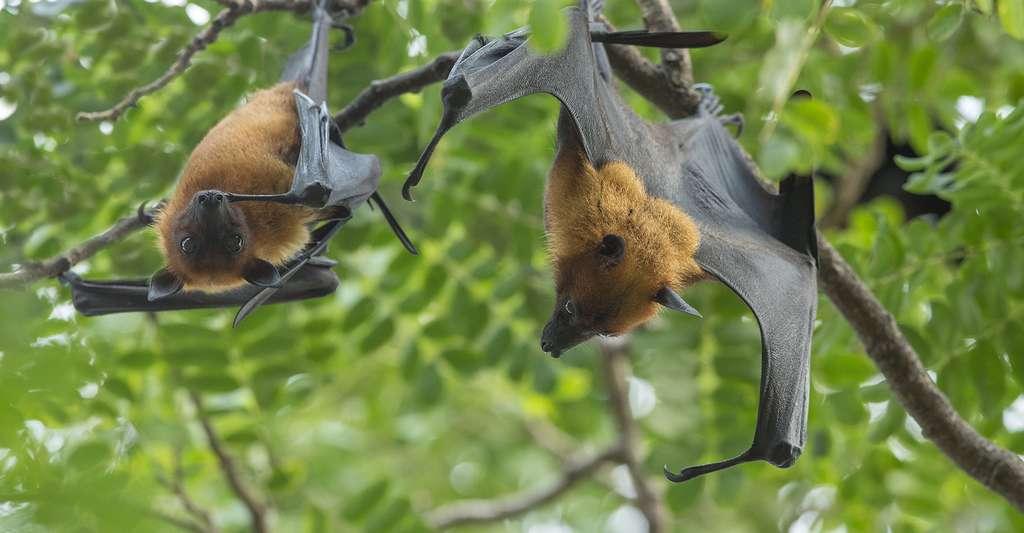 La zoogamie est la pollinisation par les animaux. Ici, des chauves-souris. © Bird Hunter, Shutterstock