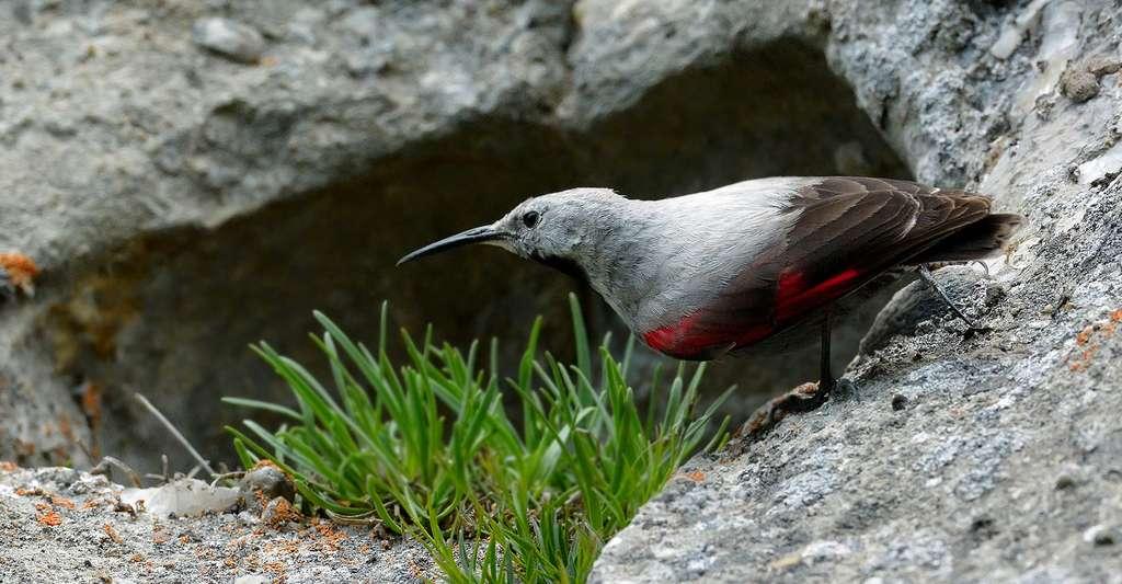 Tichodroma muraria dans son habitat naturel. © Bereta, Fotolia