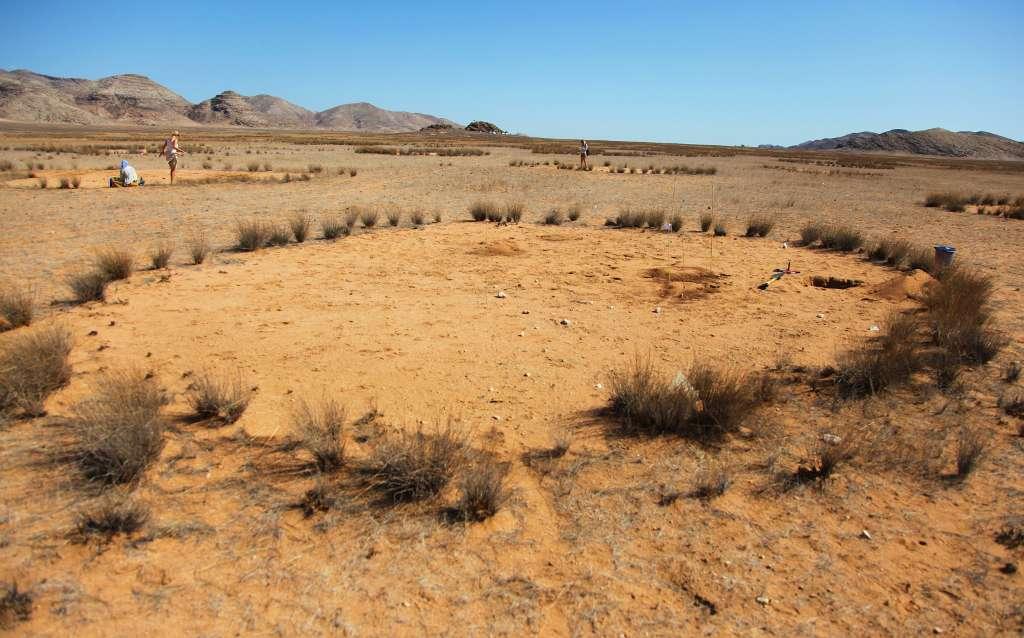 En période de sécheresse, de nombreux animaux herbivores sont probablement heureux de trouver de la végétation en bordure des cercles de fées namibiens. Ils peuvent remercier les termites à l'œuvre dans le sous-sol. © Norbert Jürgens