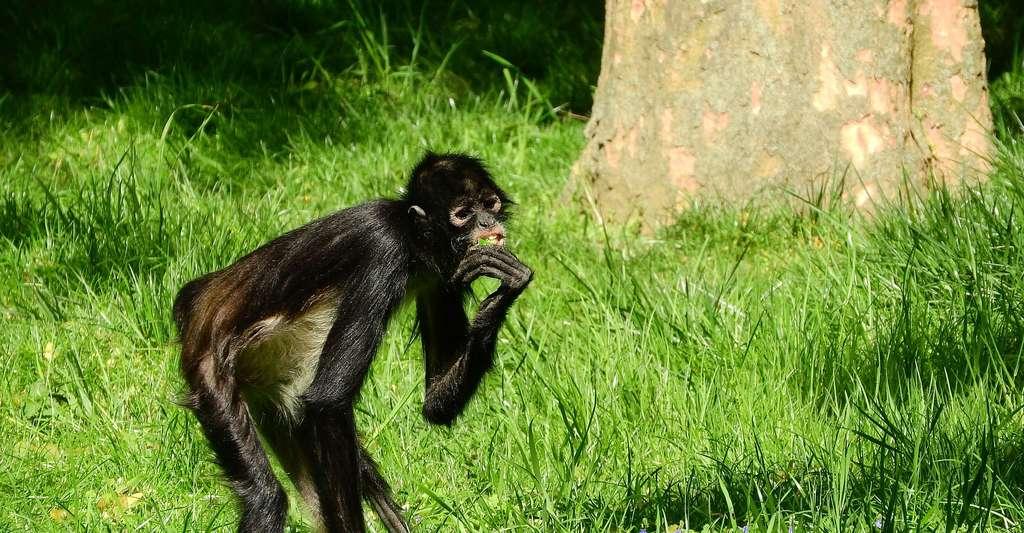 Jeune singe-araignée de Geoffroy. © Maky Orel, Pixabay, DP