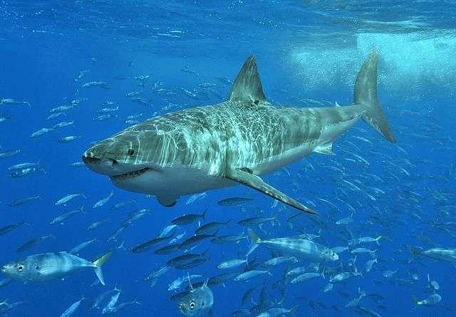 Seuls certains scientifiques peuvent se permettre de réellement nager avec les requins blancs, allant jusqu'à s'accrocher à leur aileron. © Terry Goss, Wikimedia Commons, CC by-sa 3.0