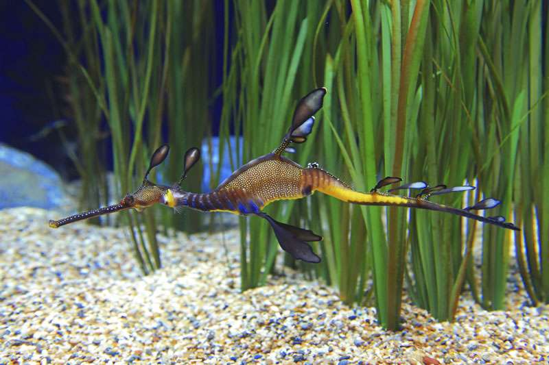 Hippocampe dragon. © C/iStock Photo, reproduction interdite
