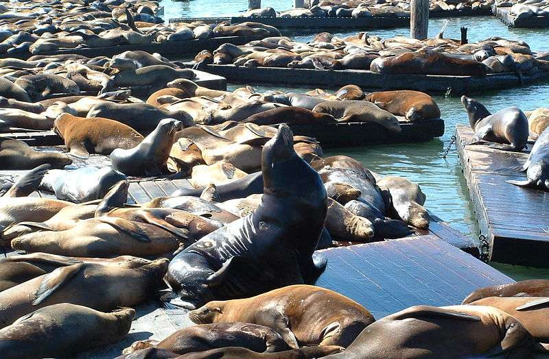 Otaries sur un ponton du port de San Francisco. © Reywas 92, GNU FDL Version 1.2