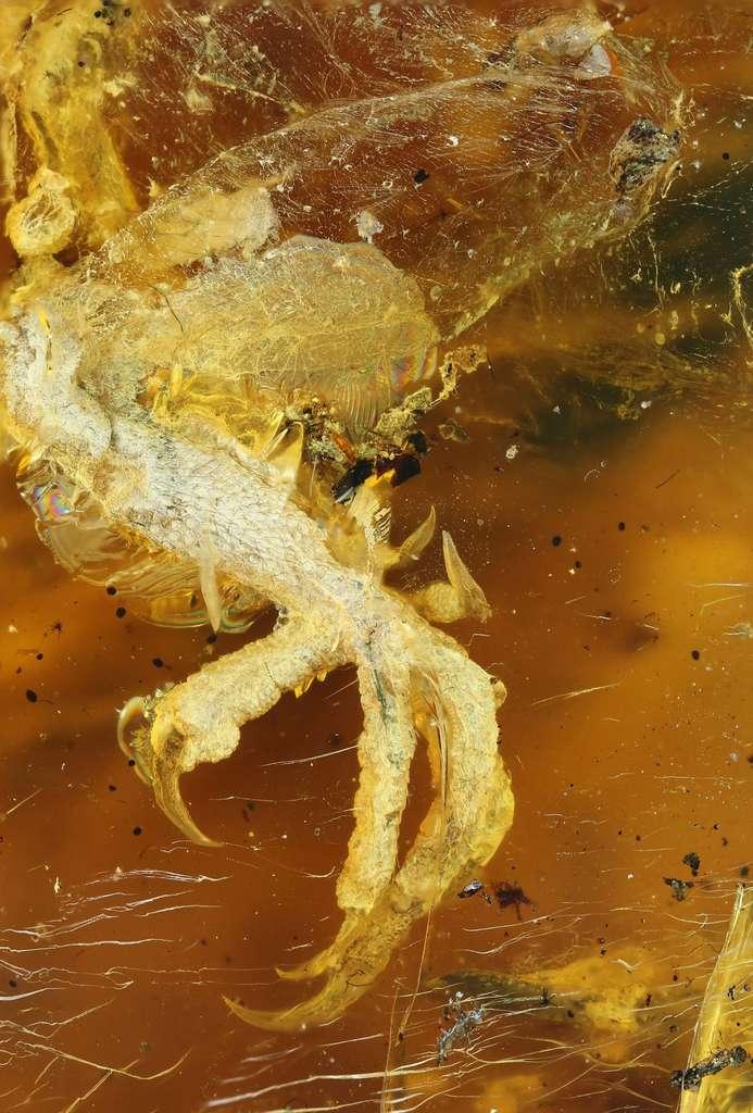 Une des pattes de l'oisillon retrouvé dans l'ambre au Myanmar. Les mineurs pensaient au départ qu'il s'agissait d'une patte de lézard. © Ming Bai, Chinese Academy Of Sciences