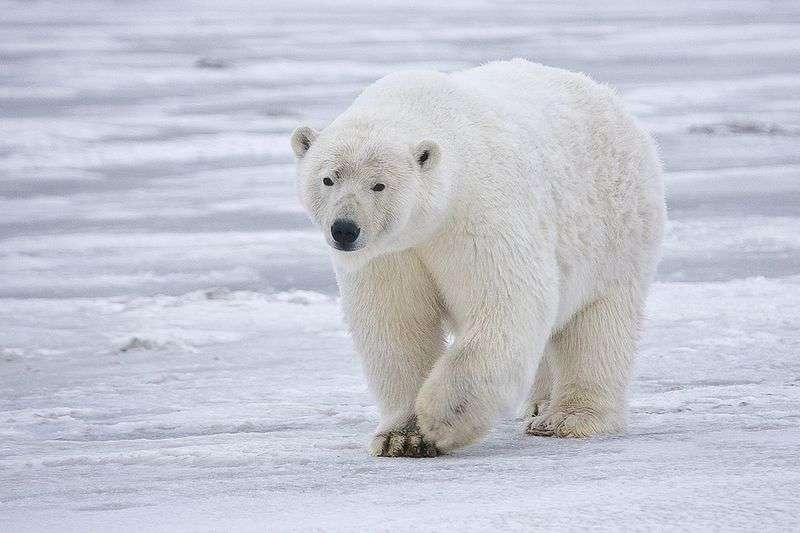 L'ours polaire est une espèce menacée (dans la catégorie « vulnérable » de la liste rouge de l'UICN). Les efforts de conservations le concernant doivent-ils être revus ? © Alan Wilson, Wikipédia, cc by sa 3.0