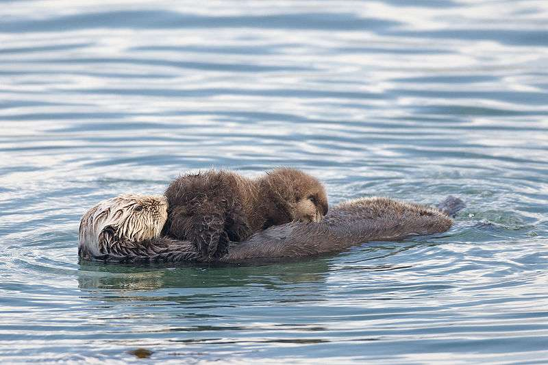 Mère loutre et son petit. © Mike Baird from Morro Bay USA, CCA 2.0 Generic license