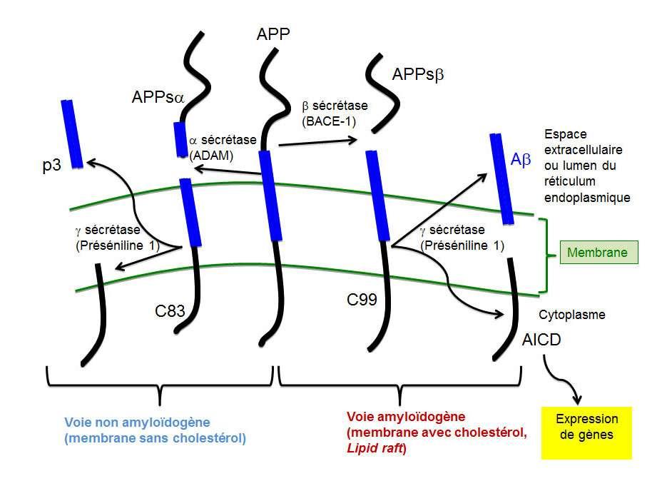 Les gènes du précurseur du peptide Aß (APP) ou des présénilines (PS1 et PS2) mutent et favorisent la production du peptide Aβ (voie amyloïdogène). © DR
