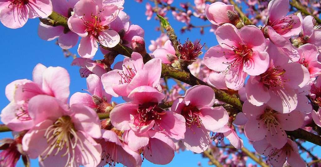 Fleurs de pêcher. © Anad Fontana, Pixabay, DP
