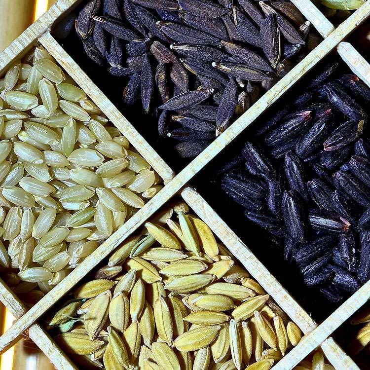 Riz noir, paddy, complet… © IRRI, Flickr, CC by-nc 2.0