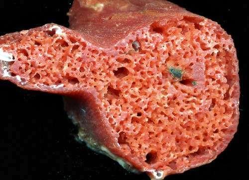 Figure 8 : ce rameau est infesté par une éponge endolithe Clione qui a dissous le calcaire du squelette. © J.-G. Harmelin, tous droits réservés, reproduction et utilisation interdites
