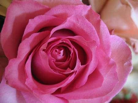 Il existe plusieurs sortes de roses qui portent des noms différents. © AB - Tous droits réservés