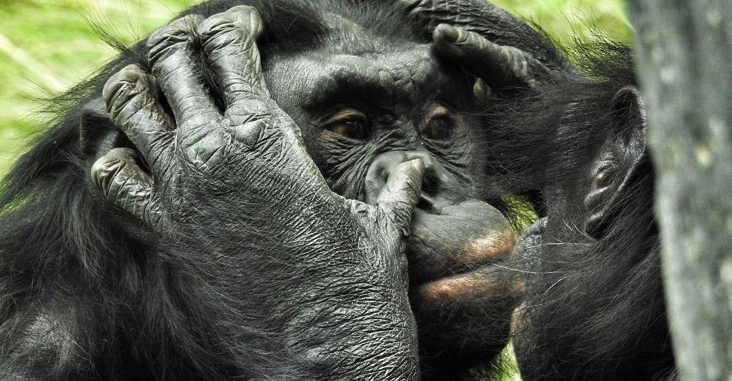 Bonobos © NauticalVoyager, Pixabay, DP