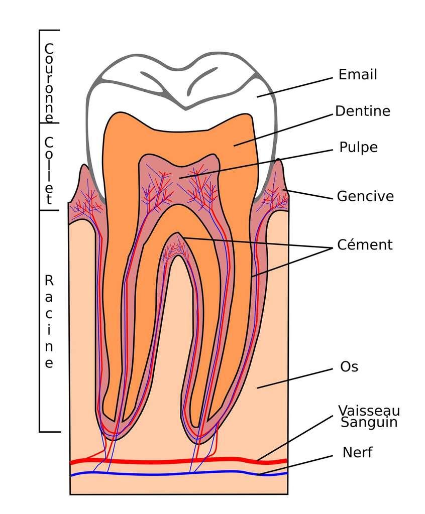 La dentine est recouverte d'émail. © Floki Fotos, Fotolia