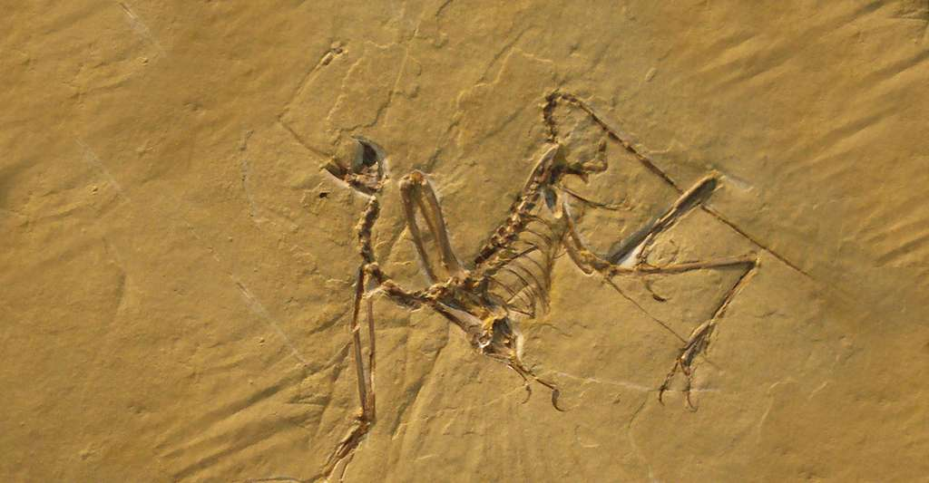 Archaeopteryx bavarica. © Ghedoghedo, Wikimedia commons, CC by-sa 3.0