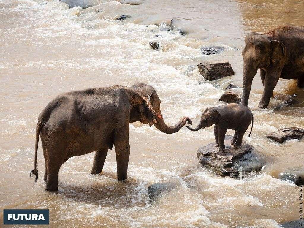 Le formidable pouvoir d'apprentissage chez les éléphants
