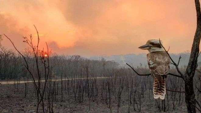 Un kookaburra perché sur un arbre mort lors des incendies en Australie. © Adam Stevenson