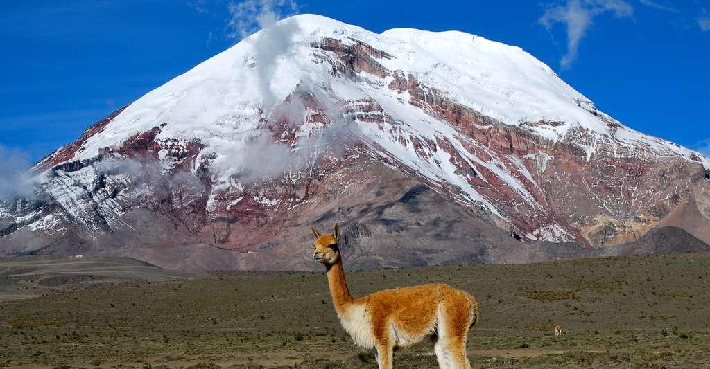 Une Vigogne, l'un des deux camélidés sauvages d'Amérique du Sud et le volcan Chimborazo (6 310 m), en Équateur, le plus haut sommet du monde. © David Torres Costales - CC BY-NC 3.0