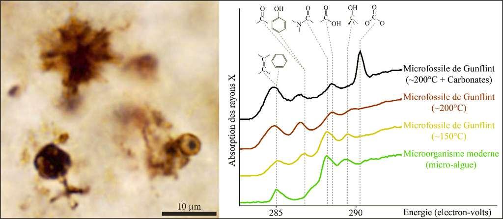Photographie, en microscopie optique, de microfossiles des cherts de Gunflint (chutes de Kakabeka) et spectres d'absorption X de ces microfossiles (en jaune) montrant de fortes similitudes avec ceux de micro-organismes modernes (en vert) : la présence de pics d'intensité comparable aux mêmes énergies traduit une chimie similaire. © IMPMC, CNRS