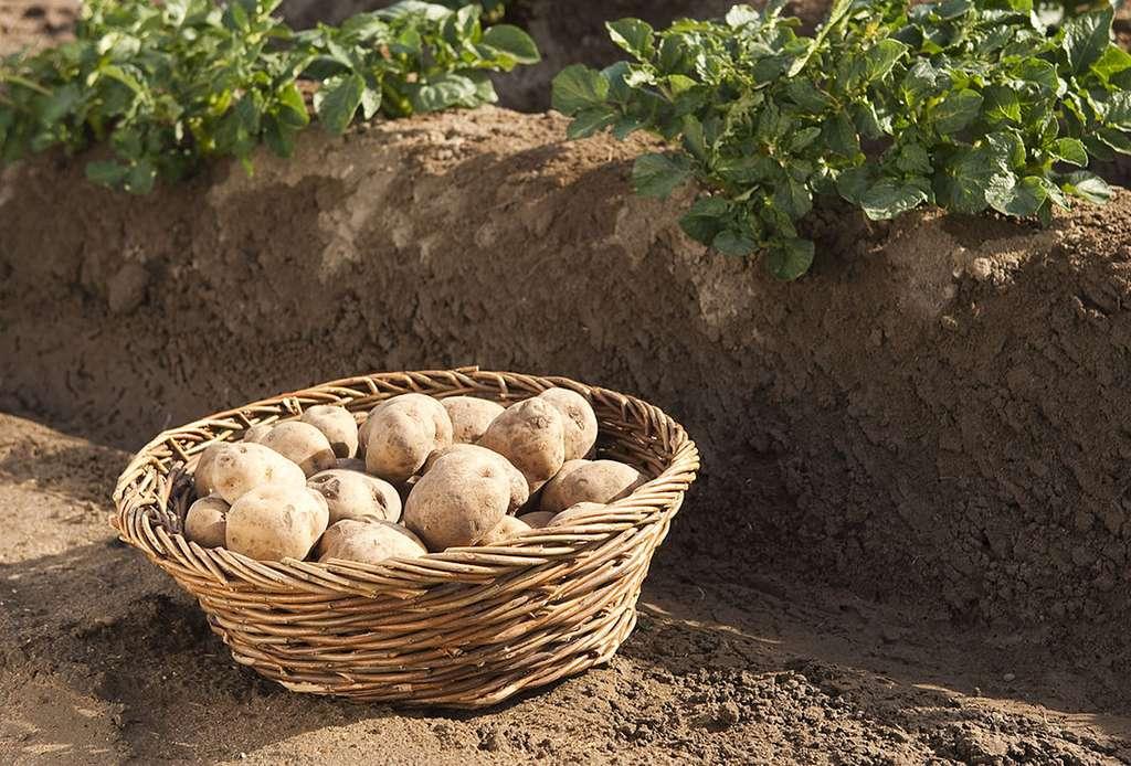 Des pommes de terre transgéniques Amflora. © BASFPlantScience, CC by-nc 2.0