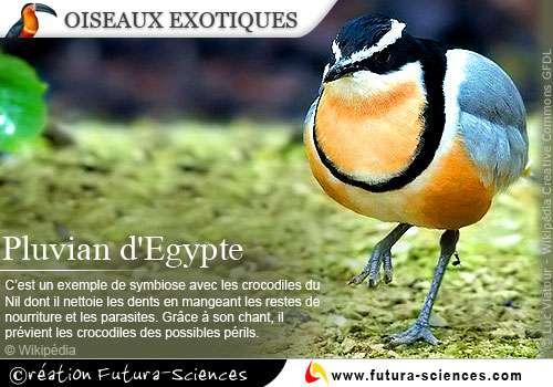 Pluvian d'Egypte