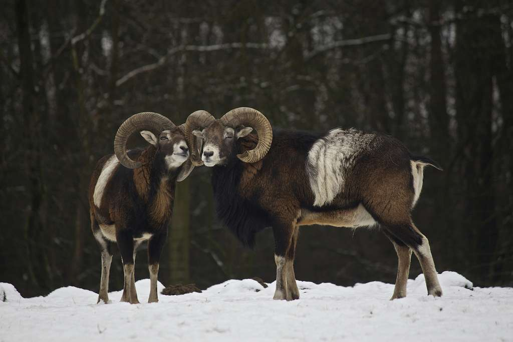 Mouflons. © Missud, CC by-nc 2.0