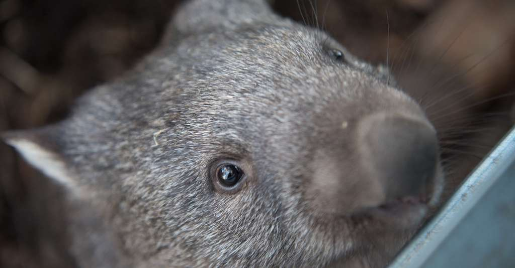 Les crottes en forme de cube du wombat résulteraient des propriétés élastiques variables de ses parois intestinales. © pen_ash, Pixabay, CC0 Creative Commons