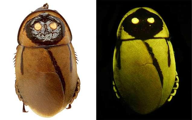 Lucihormetica luckae est exceptionnel par sa taille (24 mm), et par son imitation parfaite de la lumière émise par des coléoptères toxiques du genre Pyrophorus. © Vršanský et al., 2012, Naturwissenschaften