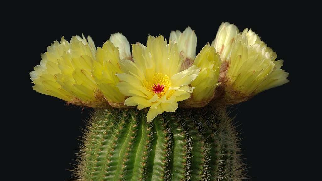 Cactus : notocactus minimus