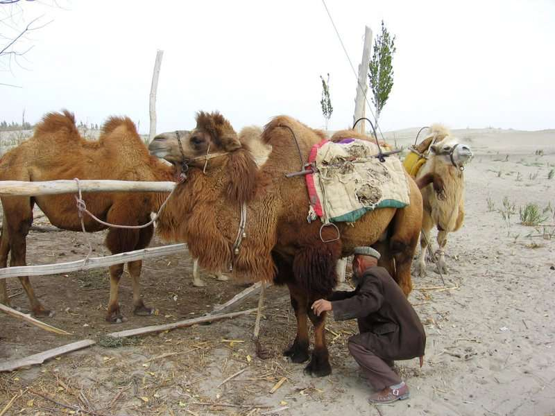 Chameaux domestiques dans le Taklamakan. © Colegota, Wikipédia, cc by sa 2.5