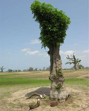 Jeune baobab constamment émondé et ne disposant d'aucune branche… © S. Garnaud - Reproduction et utilisation interdites