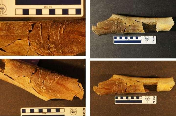 Ces griffures sont des traces de dents et appartiennent probablement à un animal de grande taille. Les barres d'échelle bleues mesurent 10 cm. © Matthew McLain
