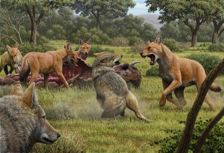 Vue d'artiste signée Mauricio Anton, fournie le 12 janvier par la revue Nature, illustrant une meute de « loups sinistres » se repaissant d'un bison, approchée par des loups gris, à l'époque du Pléistocène. © Mauricio Anton, Nature Publishing Group, AFP