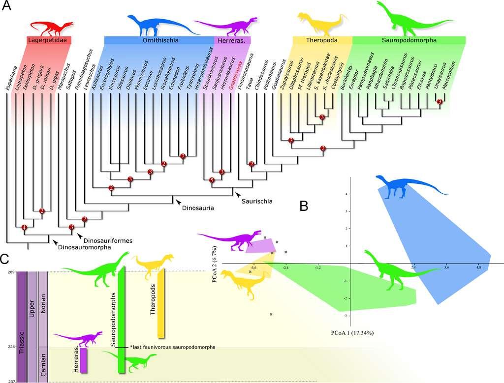 Gnathovorax cabreirai appartient au genre Herrerasaurus, qui vivait il y 230 millions d'années, à l'époque où les continents étaient encore réunis dans la Pangée. © Cristian Pacheco et al, PeerJ, 2019