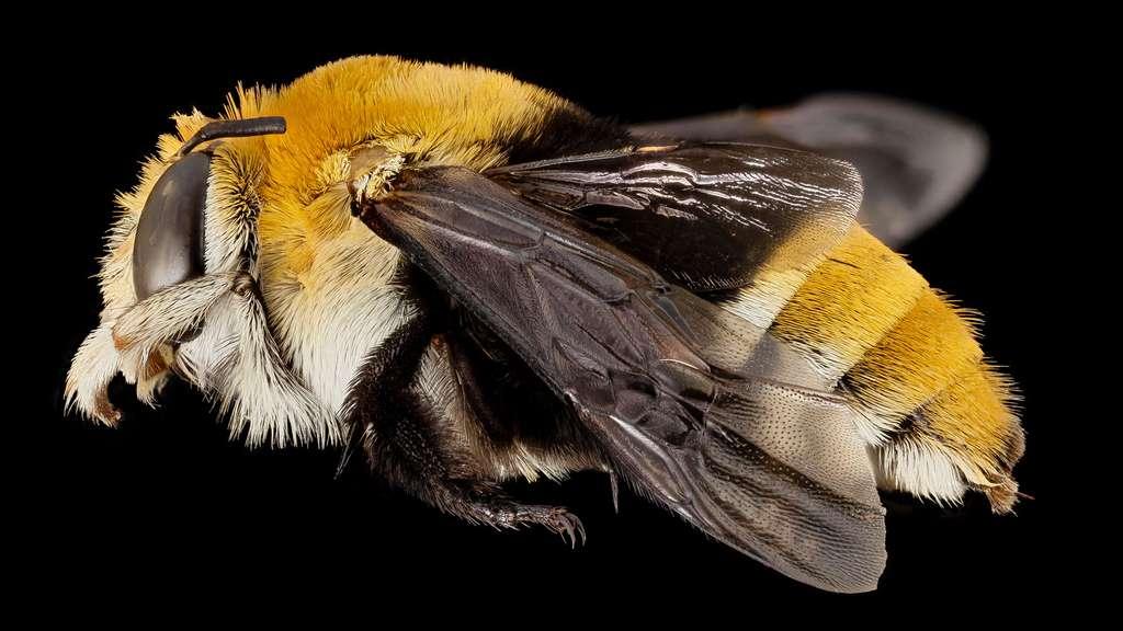 Les abeilles du genre Amegilla