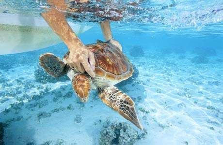 Cette tortue verte (Chelonia mydas), après avoir été soignée au centre, est relâchée dans le lagon par le docteur vétérinaire Cécile Gaspar. © Alexis Rosenfeld - Reproduction interdite