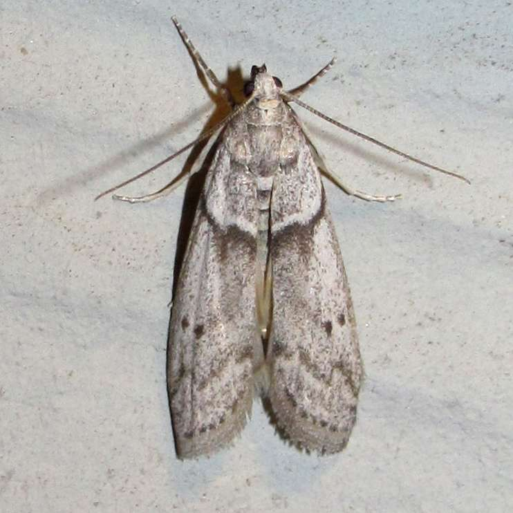 La mite alimentaire Ephestia kuehniella est un petit papillon d'environ 2,5 cm aux ailes grisées. © gcwarbler, iNaturalist