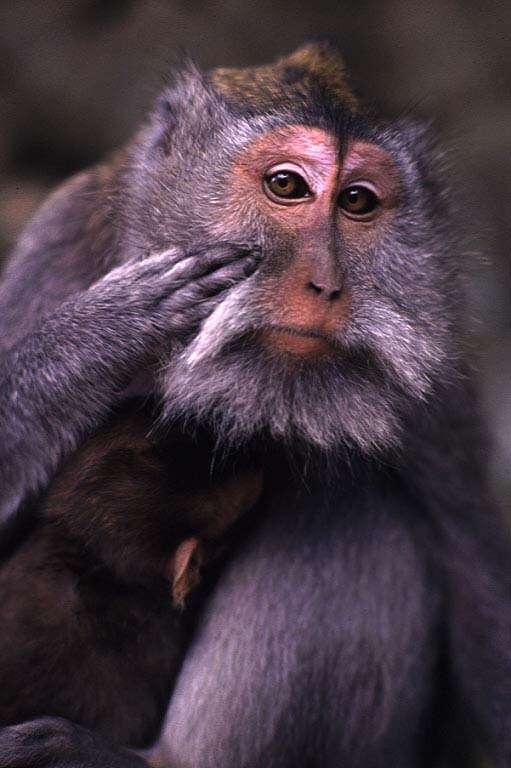 Macaque Longue queue